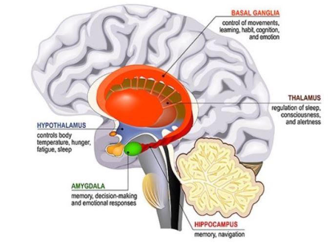 Hypothalamus - Kiểm soát nhiệt độ cơ thể